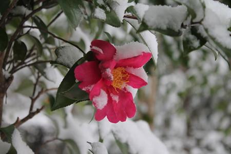 雪の中の椿