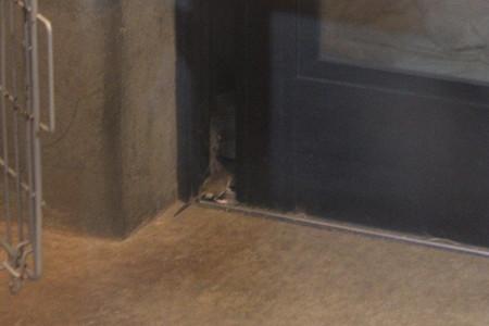 ネズミ外へ