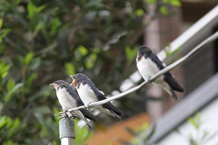 三人きょうだい給餌の順番(5)