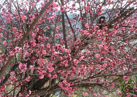 寒くても梅開花