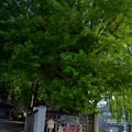 写真: [南陽市] 熊野大社・道祖神社と大銀杏