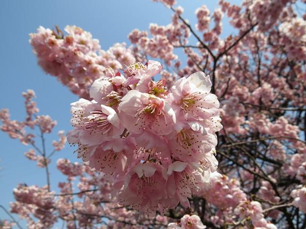 宮田鉄工の椿寒桜2