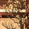 写真: IMG_0977大阪天満宮・大盆梅展・青軸野梅