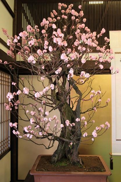 IMG_1073大阪天満宮・大盆梅展・一の谷