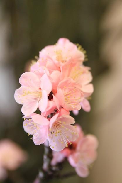 IMG_1088大阪天満宮・大盆梅展・一の谷