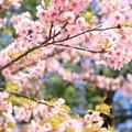 IMG_2888東寺(教王護国寺)・河津桜