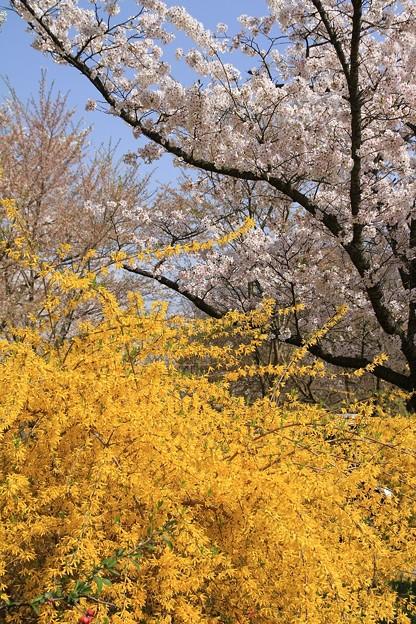 IMG_3964京都府立植物園・連翹とソメイヨシノ