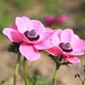 """Photos: IMG_4198京都府立植物園・アネモネ""""デ・カーン混合"""""""