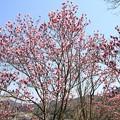 IMG_4643高照寺・桃色木蓮