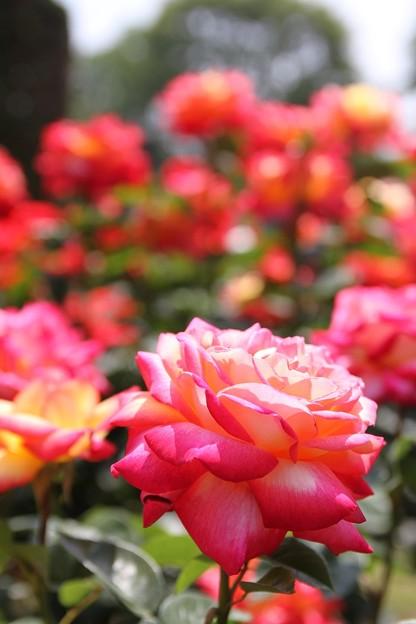 IMG_8251ばら園・薔薇'栄光'