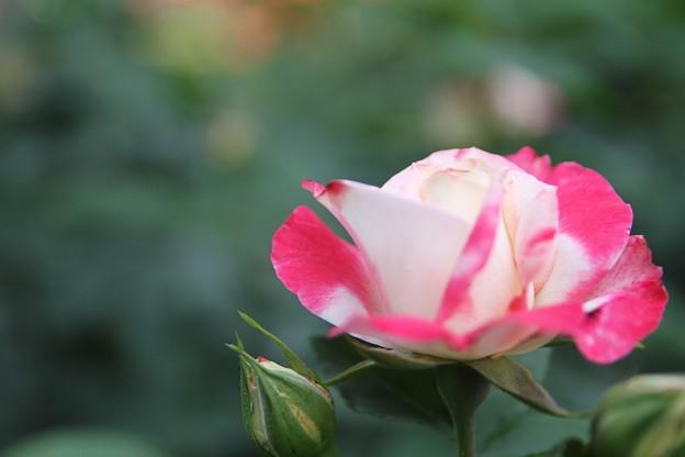IMG_8347ばら園・薔薇'デスティニィ'