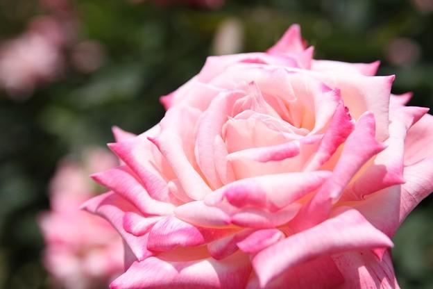 IMG_8573ばら園・薔薇'大原女'