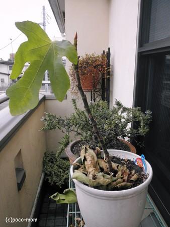 イチジクの葉2012年12月23日_PC230099