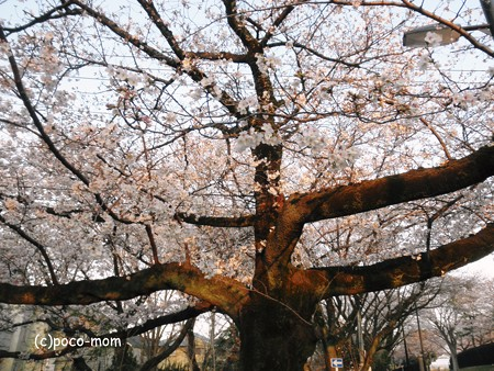 玉川上水の桜の古木2013年03月23日_P3230243