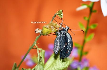 クロアゲハの羽化2013年08月25日_DSC_0546