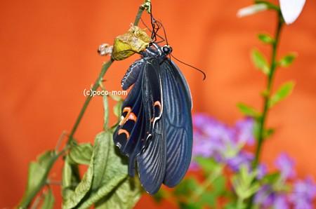クロアゲハの羽化2013年08月25日_DSC_0564