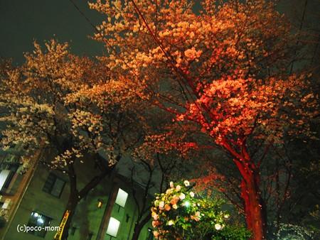 信号待ちで桜を撮る2014年04月05日_P4050042