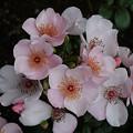 写真: pink25051302 (680x510)