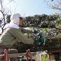 写真: 84歳の庭師?1