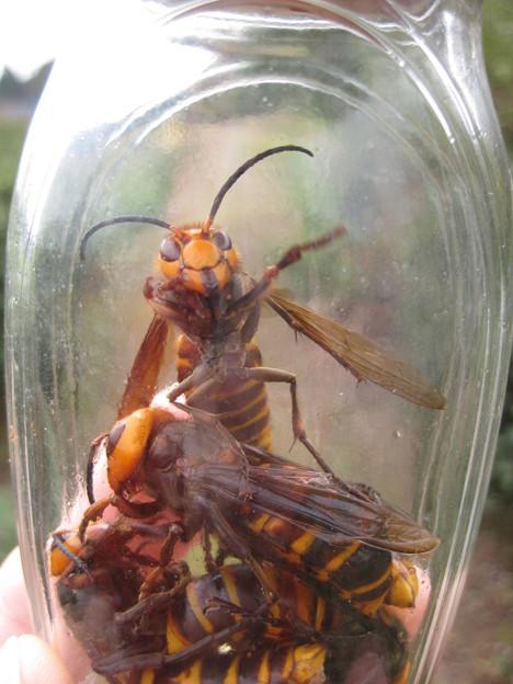 スズメバチ (2)