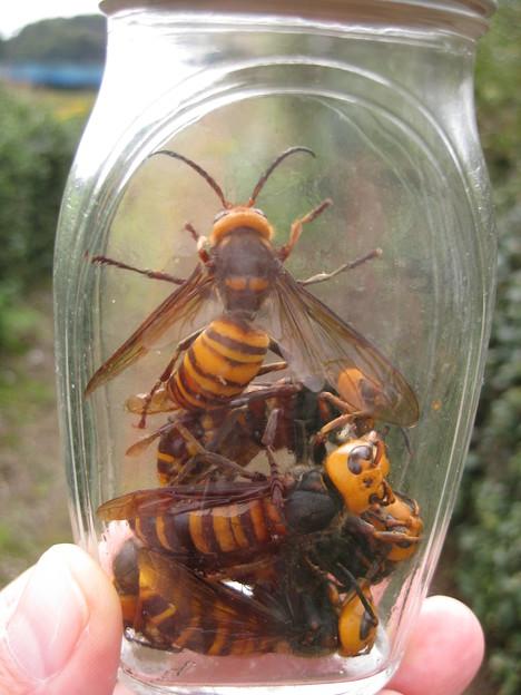 スズメバチ (1)