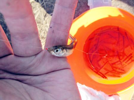 霞ヶ浦のワカサギ釣り