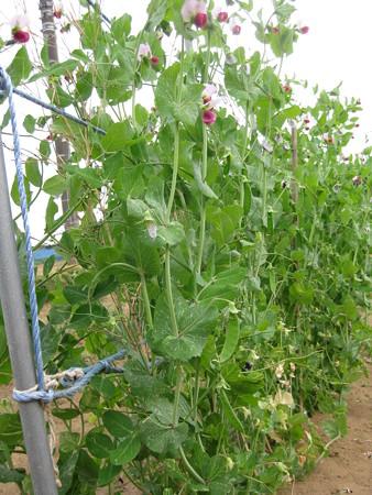 さやえんどう収穫と、なた豆発芽の巻