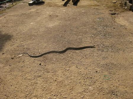 1月後半に出てきた蛇の巻