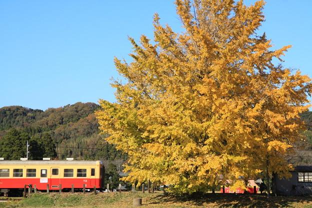写真: 小湊鐵道 上総久保 大銀杏