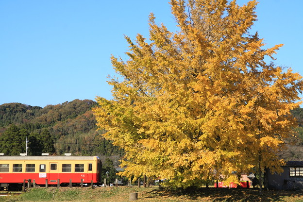 Photos: 小湊鐵道 上総久保 大銀杏