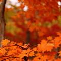 写真: 奥会津の紅葉3