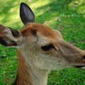 写真: 子鹿