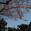 写真: 桜とスカイツリー 谷中霊園にて