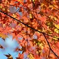 写真: 赤紅葉・・・。