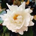 写真: 優しく咲く