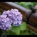 Photos: 善峰寺の紫陽花#1