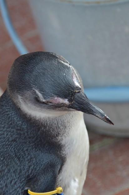 食ってはみたものの@掛川花鳥園のペンギン2