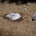 Photos: モグラになろうとしている鳥(爆)
