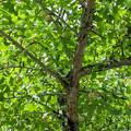 岡山県の誕生寺の境内にある公孫樹になっていた銀杏
