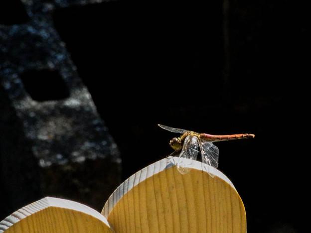 Photos: 卒塔婆に留まる蜻蛉1