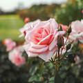 新宿御苑のピンクの薔薇CloseUp