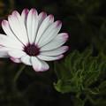 写真: 夢の花