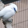 カンムリシロムクという絶滅危惧種の白い鳥