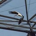 シュバシコウ(朱嘴鸛)の飛翔1