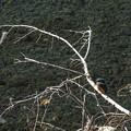 2013年最初に観たカワセミは無謀にもSIGMA-DP2Merrillで撮れました(爆)