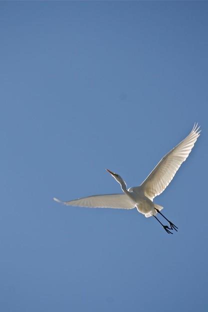 白鷺の飛翔