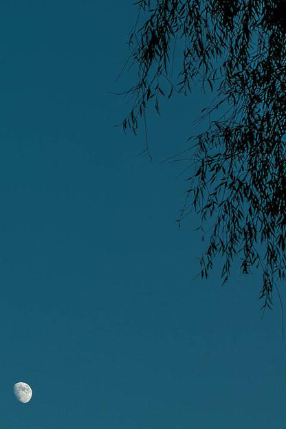 Photos: 月より高い樹(爆)