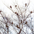 続、雀のなってる樹(爆)