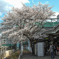 Photos: 駅のホームに桜が生えているというのは