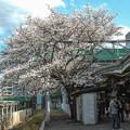 駅のホームに桜が生えているというのは